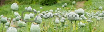 Green poppy heads