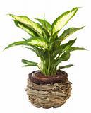 "Window plant ""Euphorbia leucocephala"""