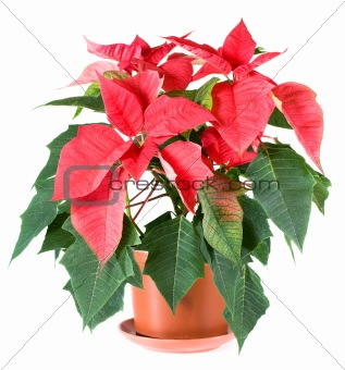 Beautiful red poinsettia plant isolated on white