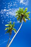 Close up of palm trees agains blue sky