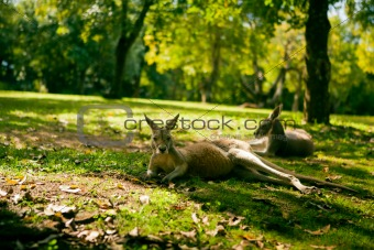 Australian cangaroos relaxing on the grass