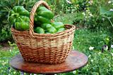 Basket with green paprika