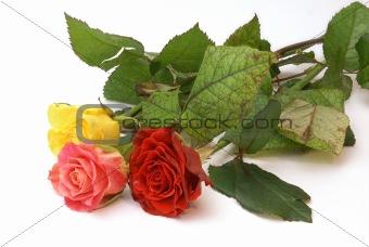 Three roses on white background