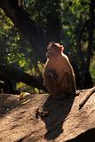 Langur Monkey, Goa, India