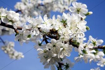 Branch of cherry blossom in spring