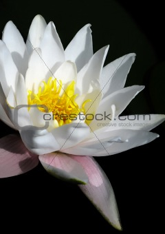 blooming white water lily