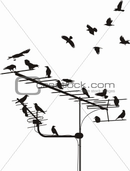 Crows on the antenna