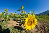 Sunflowers on a Tuscan Meadow