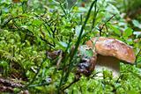 Boletus Mushroom, Dolomites