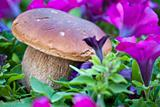 Boletus Mushrooms Composition, Italy