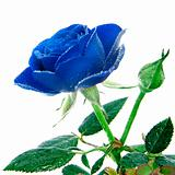 blue rose