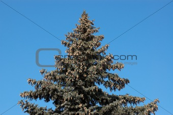 Evergreen firtree with cones on blue sky background