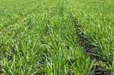 Green filed of spring wheat