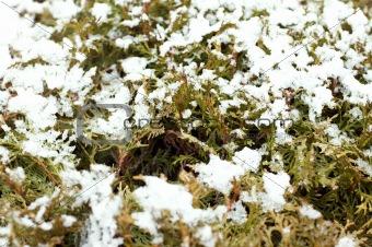 Branches of juniper under snow