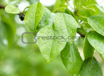 Droplets on young green leaves