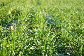 Green winter crops at morning sunlight