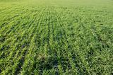 Green filed of winter grain crops