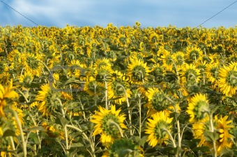Back of sunflowers field