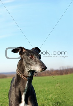Black greyhound wait for hunting