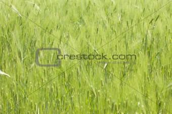 Green wheat. Can be used as background