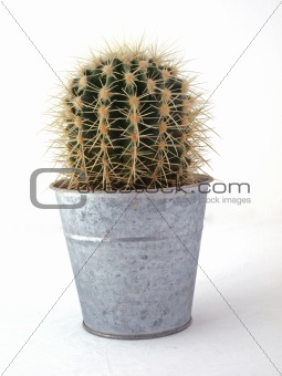 Cactus in a pot.