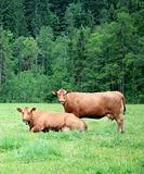 Two alpine cows on the green grass