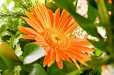Yellow gerbera flower agaisnt green blurred background