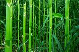 The green stalks of corn in the field in summer