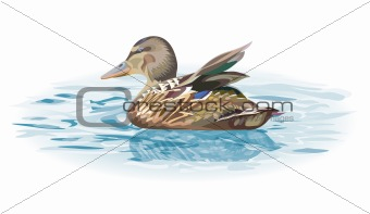 Duck on the water