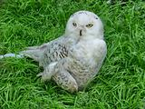 Owl on grass
