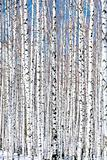 Winter birch forest - winter serenity. Ideally suits for calenda