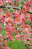 japanese quince branch - blossoming