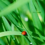 Ladybird among grass