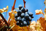 grape in autumn