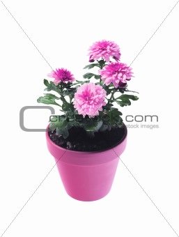 Pot with chrysanthemum isolated on white