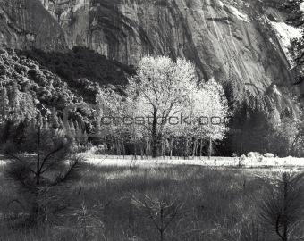 Aspen Tree Yosemite