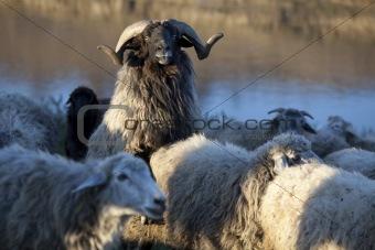 Ram in his herd
