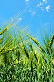wheat grain under blue sky