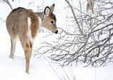 Whitetail Deer Yearling