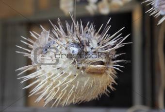 Blowfish at chinese street market