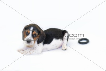 Tricolor beagle puppy laying