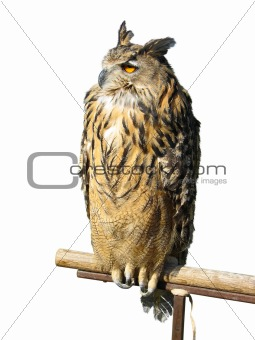 Wild owl sitting on a wooden support isolated over white