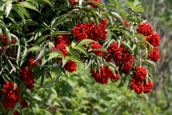 Image 3369126 Bush With Red Berries From Crestock Stock