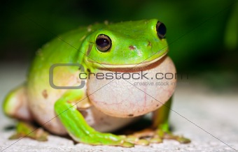 Male Green tree frog (Litoria caerulea) calling for females