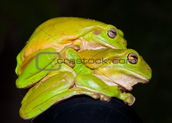 Green tree frogs (Litoria caerulea) mating