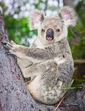 Portrait of a wild  Koala sitting in a tree 