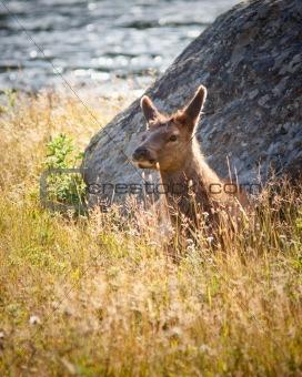 Calf Elk