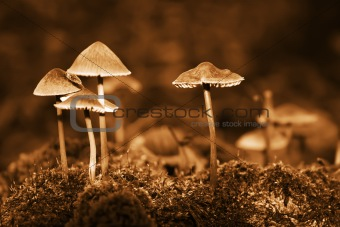 Group mushrooms. Sepia