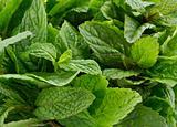 fresh mint leafs