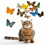 young norwegian cat and butterfly